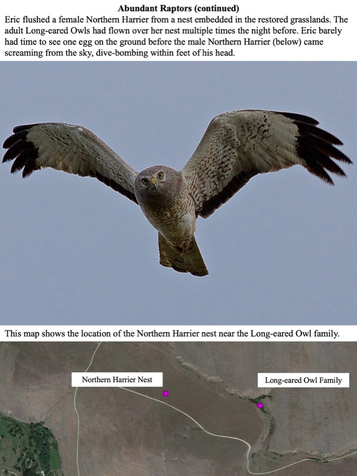 Eric flushed a female Northern Harrier from a nest embedded in the restored grasslands.