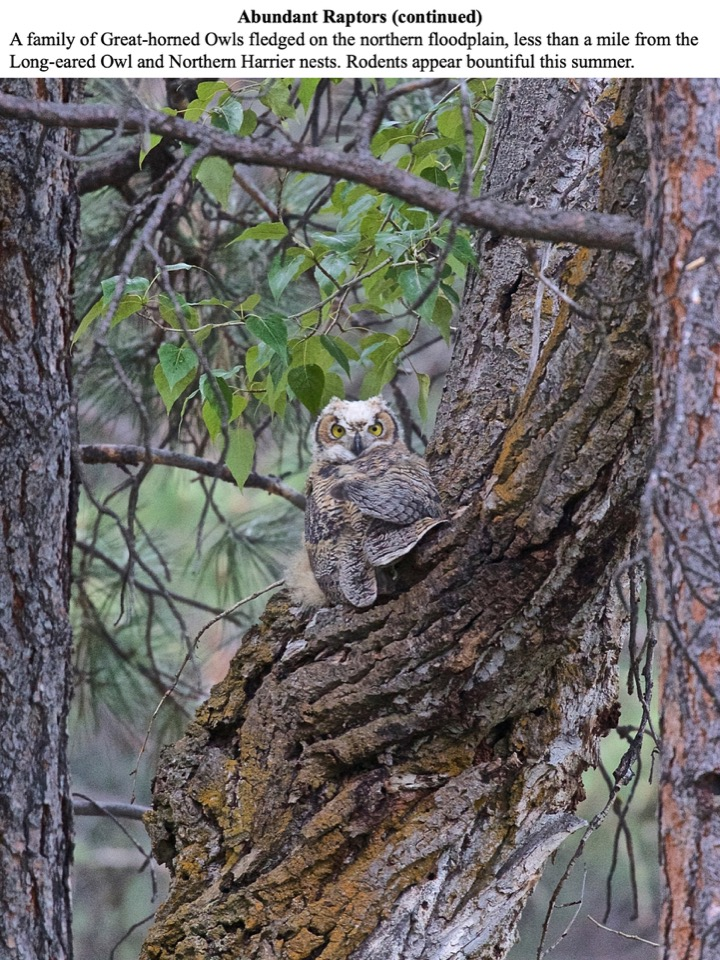 A family of Great-horned Owls fledged on the northern floodplain, less than a mile from the Long-eared Owl and Northern Harrier nests.