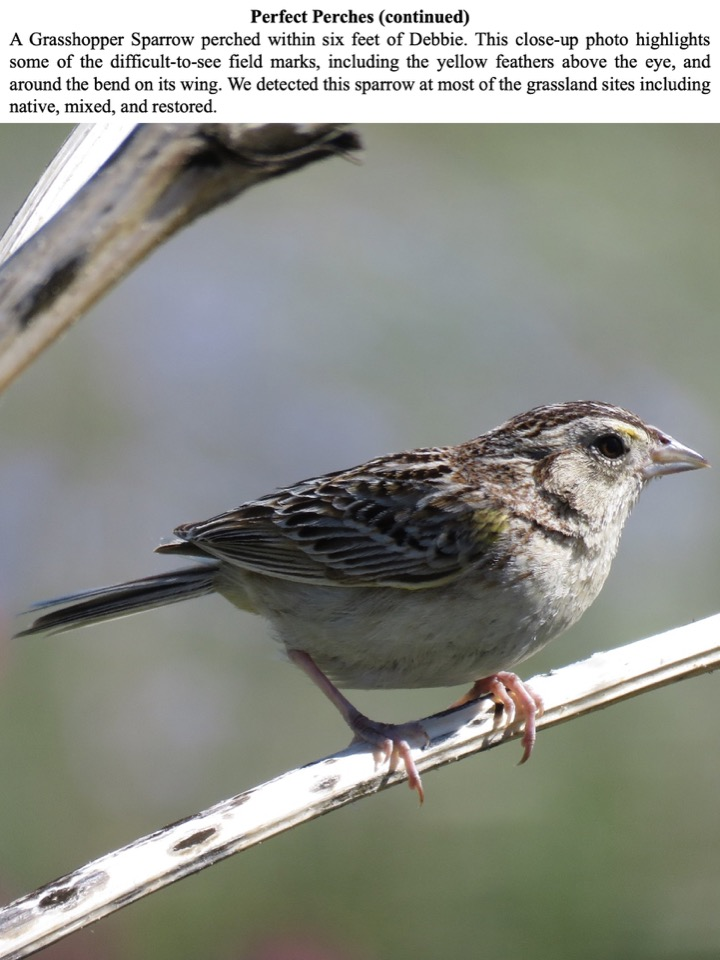 A Grasshopper Sparrow perched within six feet of Debbie.