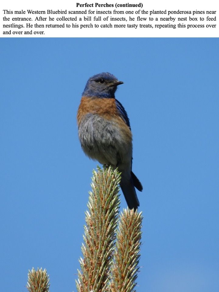 This male Western Bluebird scanned for insects from one of the planted ponderosa pines near the entrance.