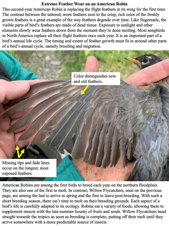 This second-year American Robin is replacing the flight feathers in its wing for the first time.