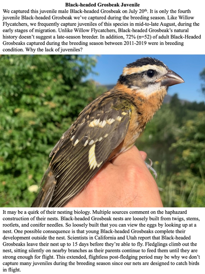 We captured this juvenile male Black-headed Grosbeak on July 20th.