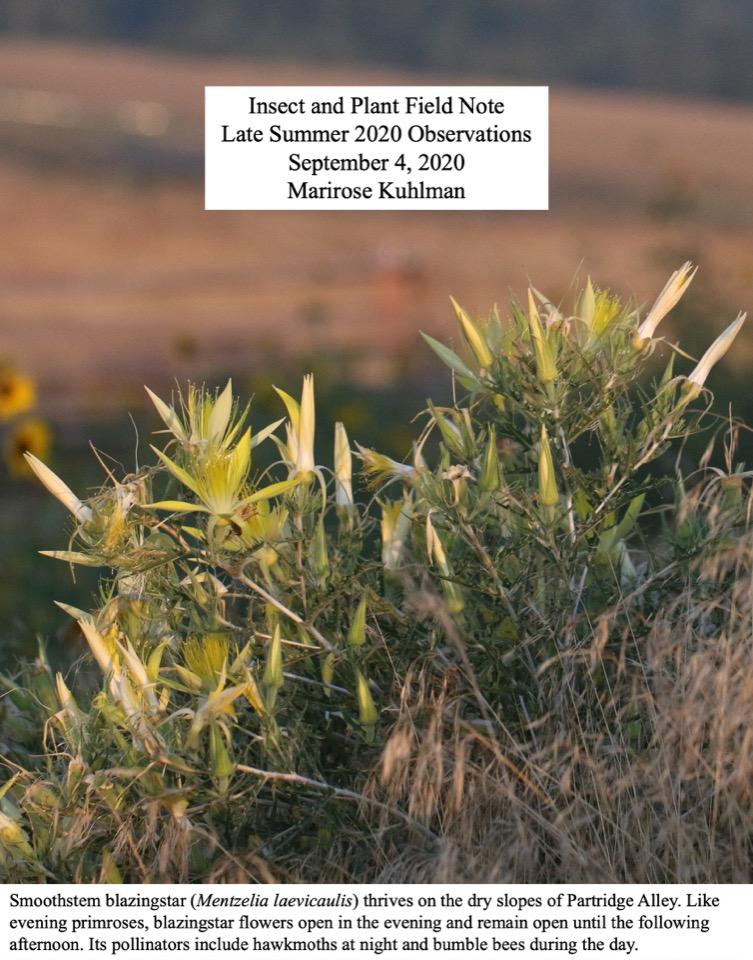 Smoothstem blazingstar (Mentzelia laevicaulis) thrives on the dry slopes of Partridge Alley.
