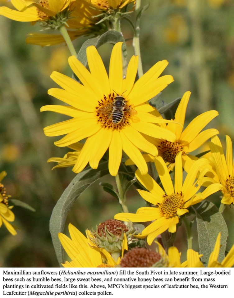 MPG's biggest species of leafcutter bee, the Western Leafcutter (Megachile perihirta) collects pollen from a Maximillian sunflower.