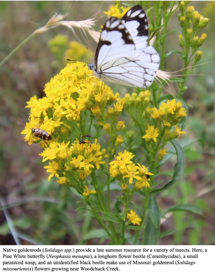 Native goldenrods (Solidago spp.) provide a late summer resource for a variety of insects.