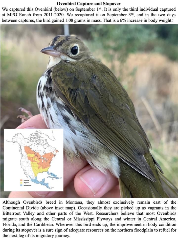 Ovenbird Capture and Stopover