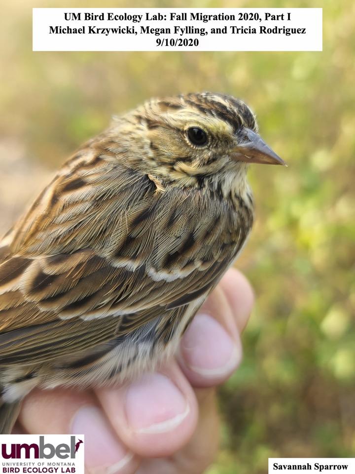UM Bird Ecology Lab: Fall Migration 2020, Part I Michael Krzywicki, Megan Fylling, and Tricia Rodriguez 9/10/2020