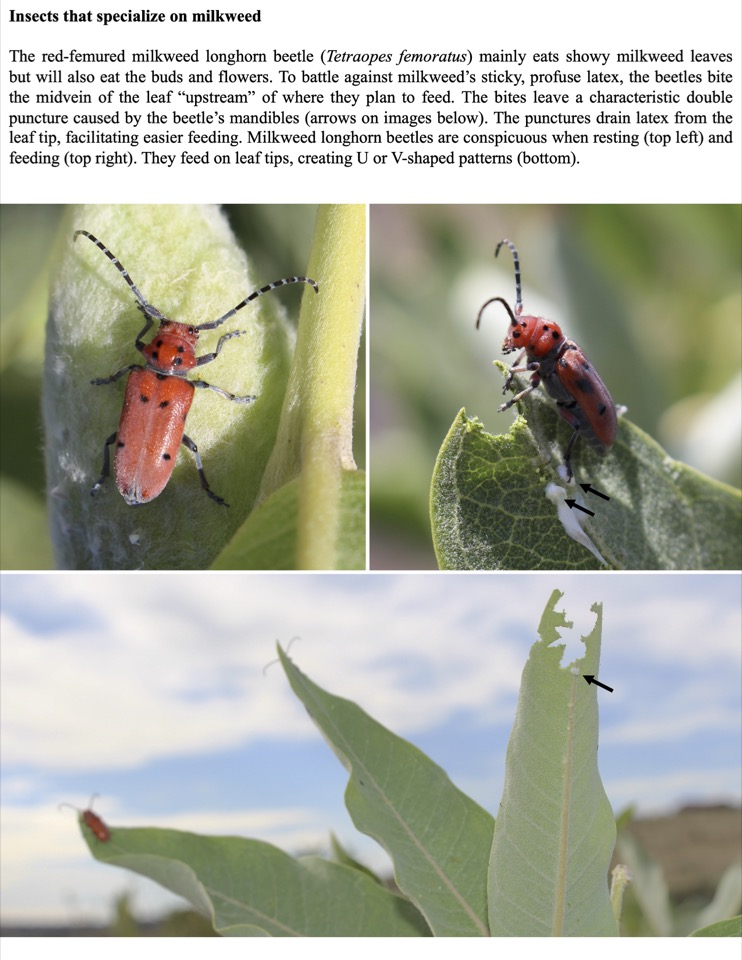 The red-femured milkweed longhorn beetle (Tetraopes femoratus) mainly eats showy milkweed leaves but will also eat the buds and flowers.