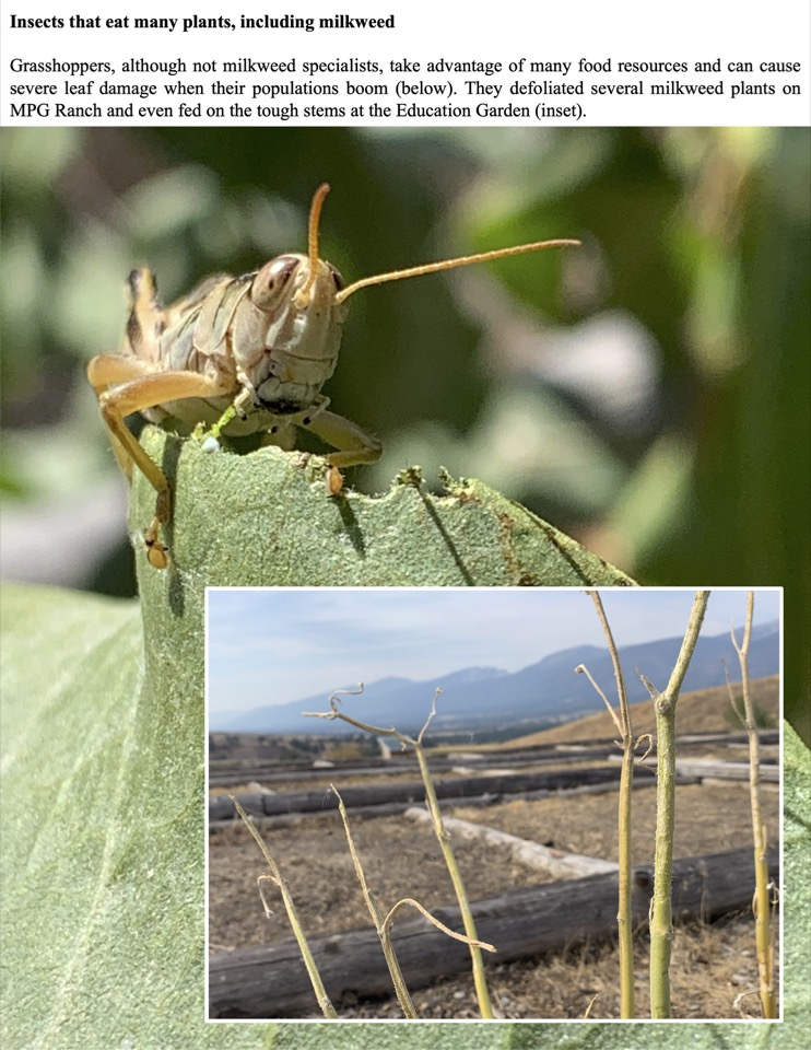 Grasshoppers, although not milkweed specialists, take advantage of many food resources and can cause severe leaf damage when their populations boom.
