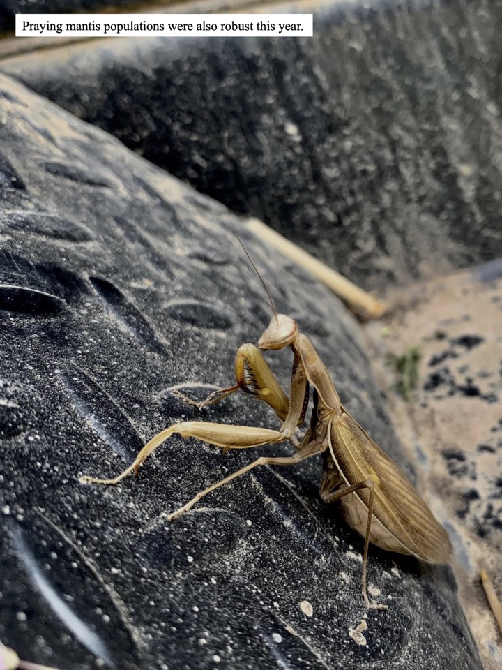 Praying mantis populations were also robust this year.