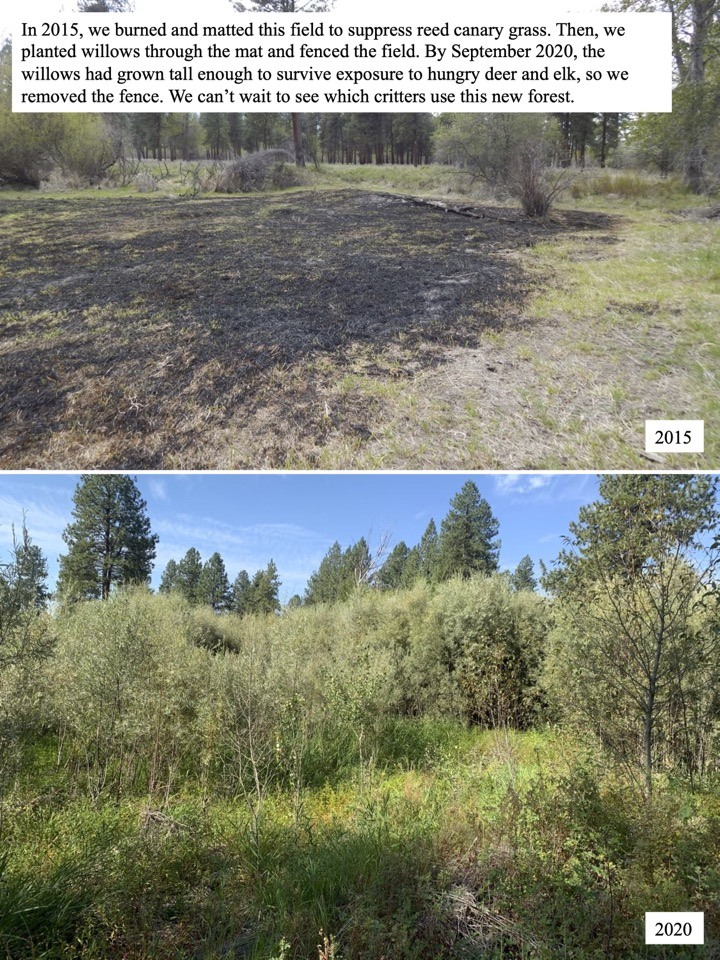 By September 2020, the willows had grown tall enough to survive exposure to hungry deer and elk, so we removed the fence.