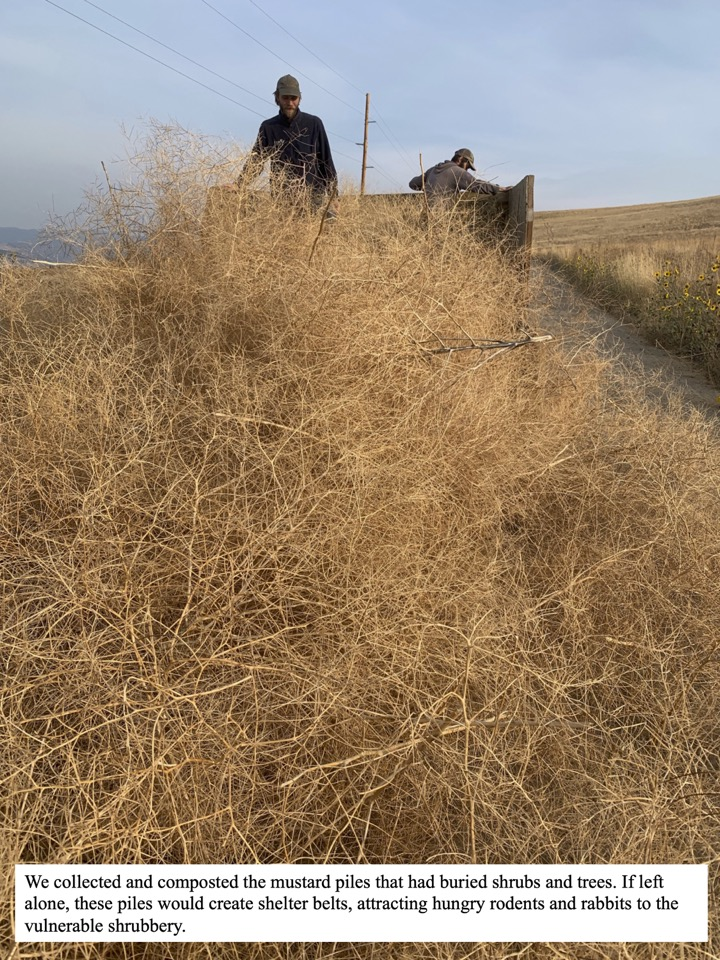 We collected and composted the mustard piles that had buried shrubs and trees.