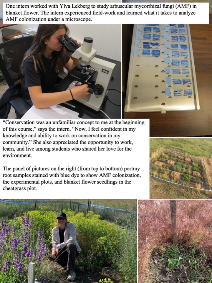 One intern worked with Ylva Lekberg to study arbuscular mycorrhizal fungi (AMF) in blanket flower.