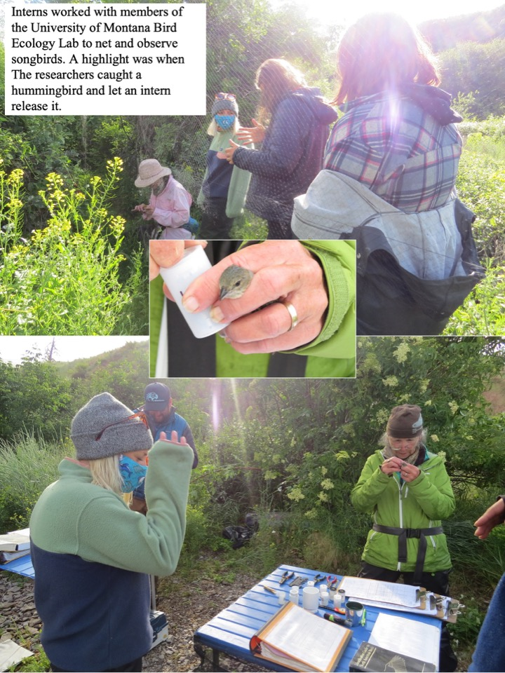 Interns worked with members of the University of Montana Bird Ecology Lab to net and observe songbirds.