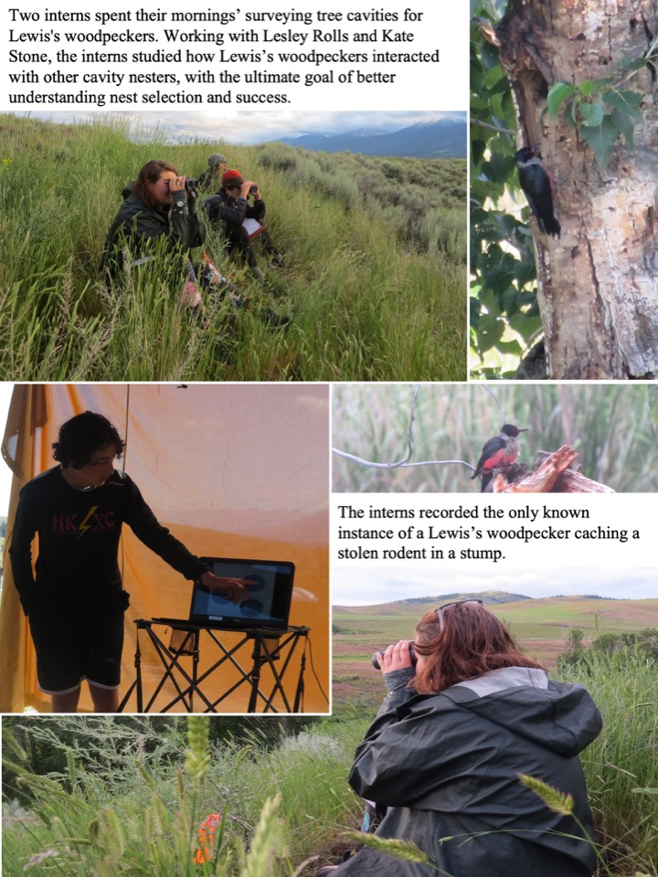Two interns spent their mornings' surveying tree cavities for Lewis's woodpeckers.