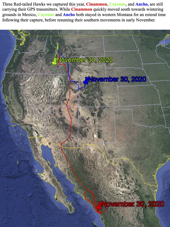 Three Red-tailed Hawks we captured this year, Cinammon, Cayenne, and Ancho, are still carrying their GPS transmitters.