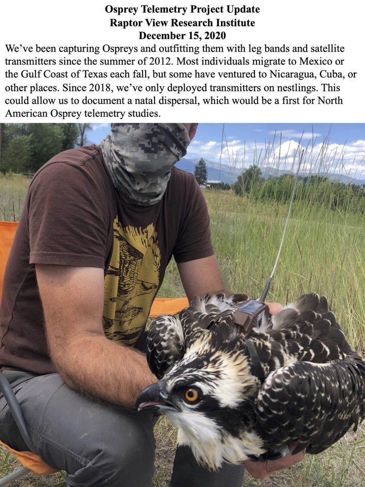 We've been capturing Ospreys and outfitting them with leg bands and satellite transmitters since the summer of 2012.