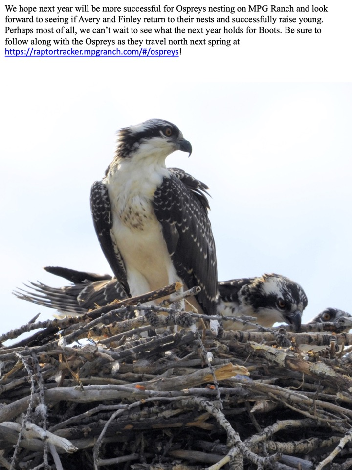 We hope next year will be more successful for Ospreys nesting on MPG Ranch