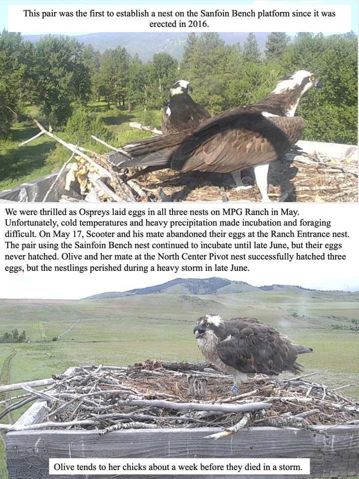 We were thrilled as Ospreys laid eggs in all three nests on MPG Ranch in May. Unfortunately, cold temperatures and heavy precipitation made incubation and foraging difficult.
