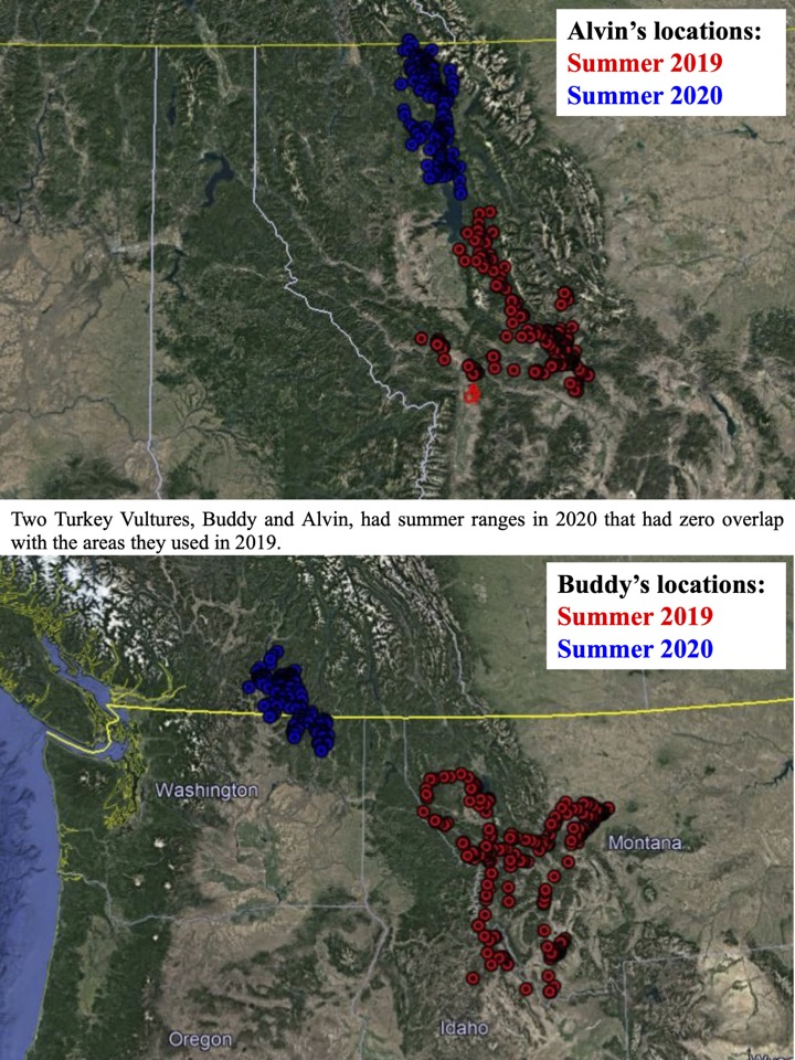 Two Turkey Vultures, Buddy and Alvin, had summer ranges in 2020 that had zero overlap with the areas they used in 2019.