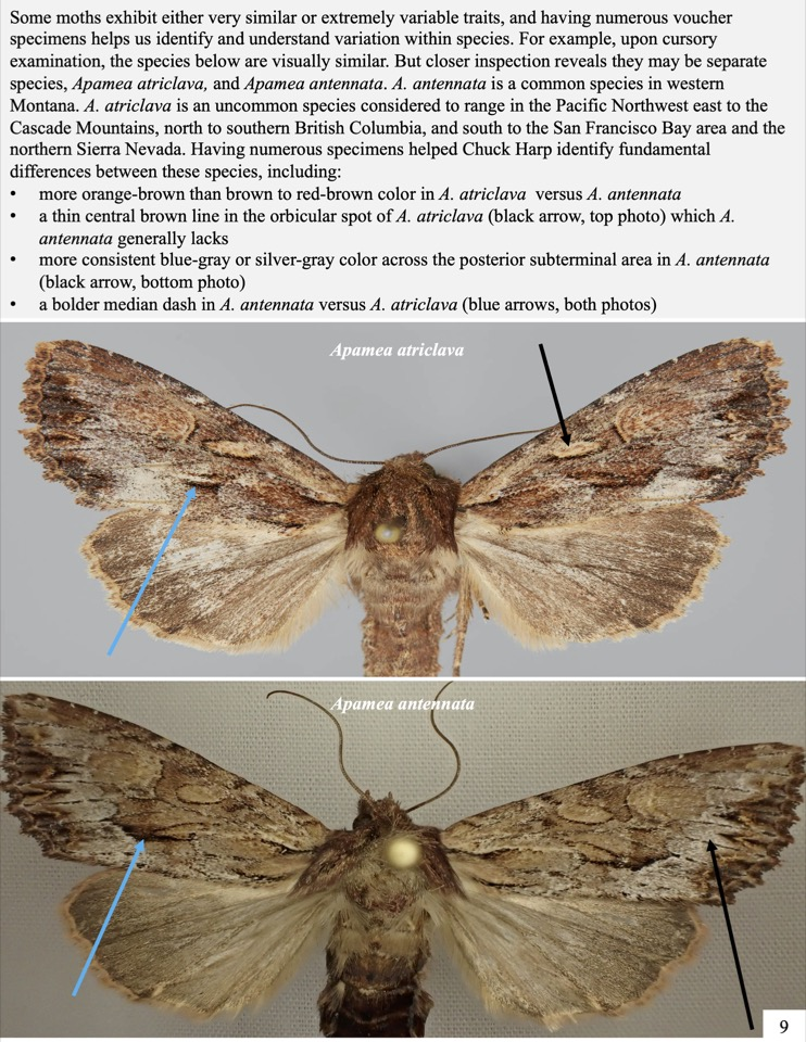 Some moths exhibit either very similar or extremely variable traits, and having numerous voucher specimens helps us identify and understand variation within species. For example, upon cursory examination, the species below are visually similar.