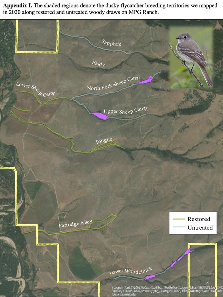 dusky flycatcher breeding territories we mapped in 2020