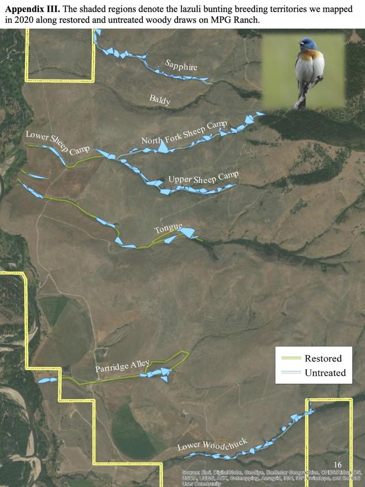 lazuli bunting breeding territories we mapped in 2020