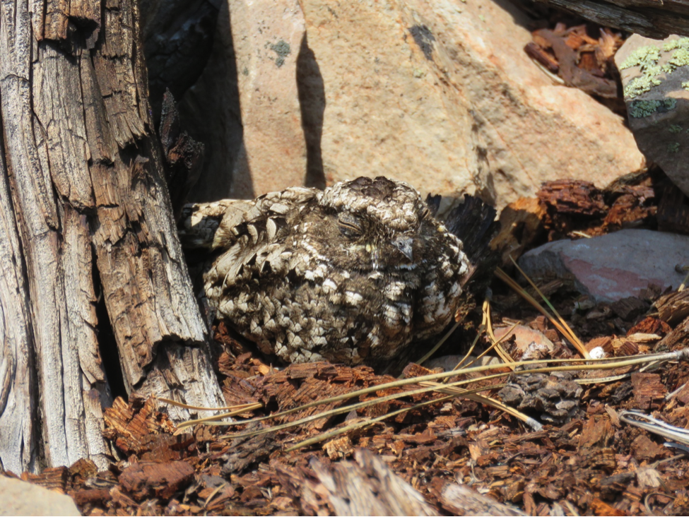 A Common Poorwill sits in morning sunshine among the rocks and woody debris on the MPG Ranch