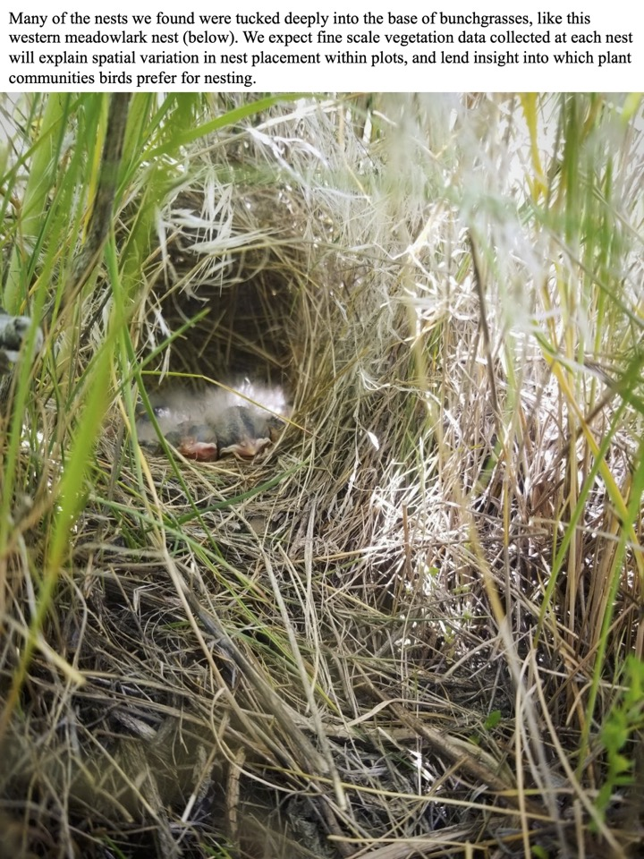 Many of the nests we found were tucked deeply into the base of bunchgrasses, like this western meadowlark nest