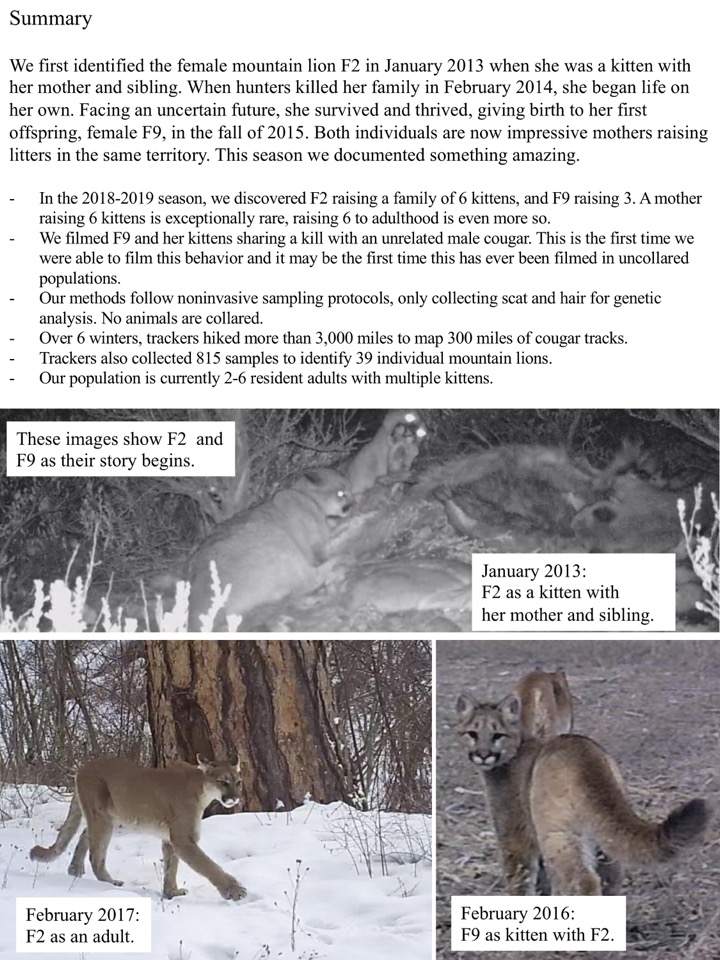 We first identified the female mountain lion F2 in January 2013 when she was a kitten with her mother and sibling.