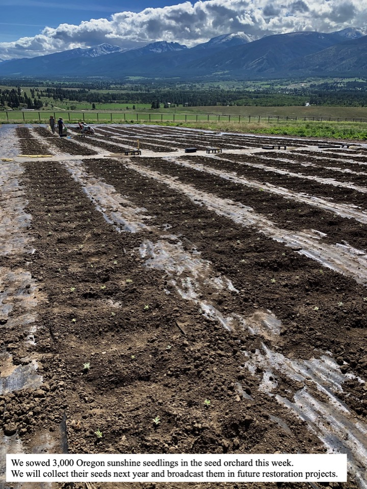 We sowed 3,000 Oregon sunshine seedlings in the seed orchard this week.