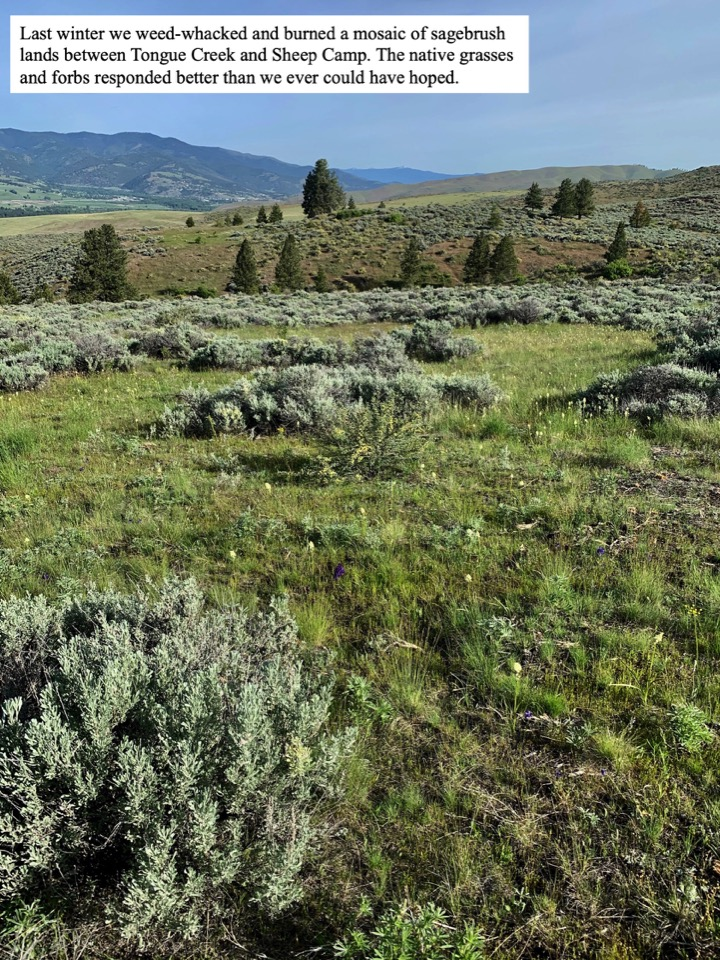 Last winter we weed-whacked and burned a mosaic of sagebrush lands between Tongue Creek and Sheep Camp.