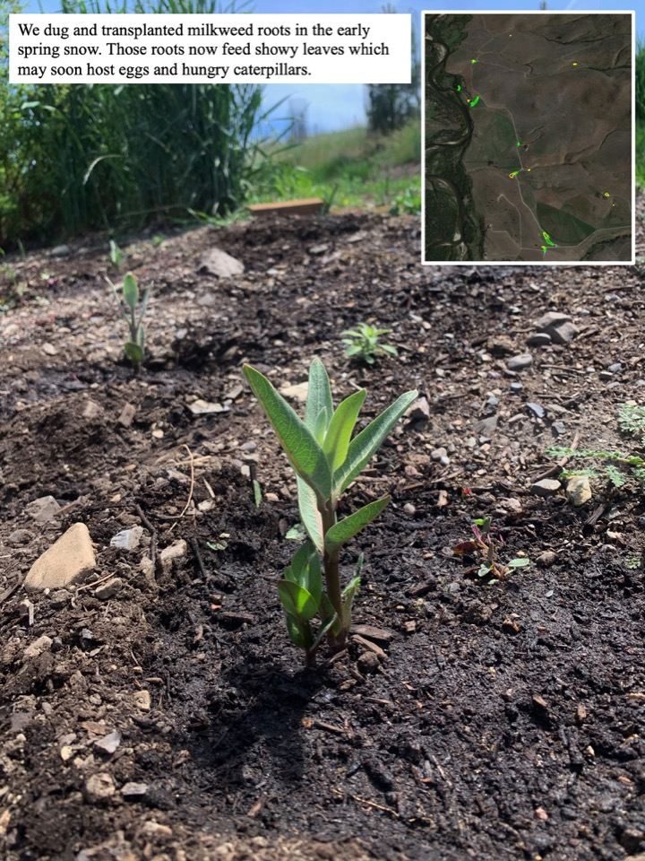 We dug and transplanted milkweed roots in the early spring snow.