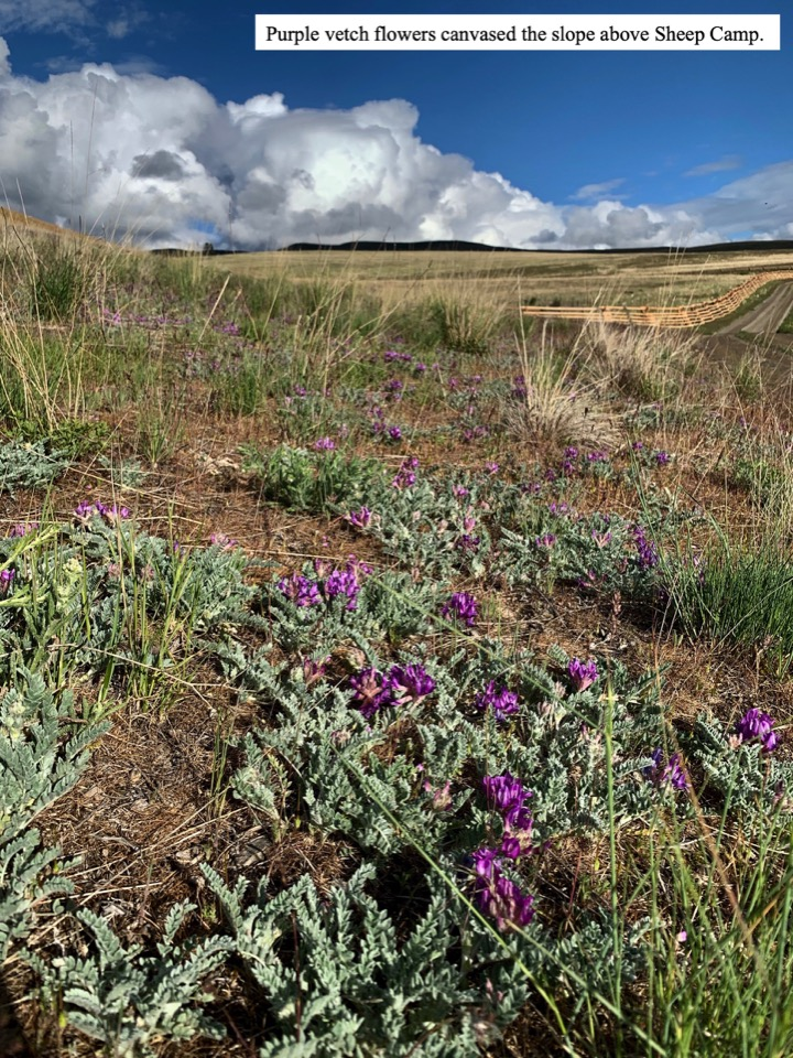 Purple vetch flowers canvased the slope above Sheep Camp.
