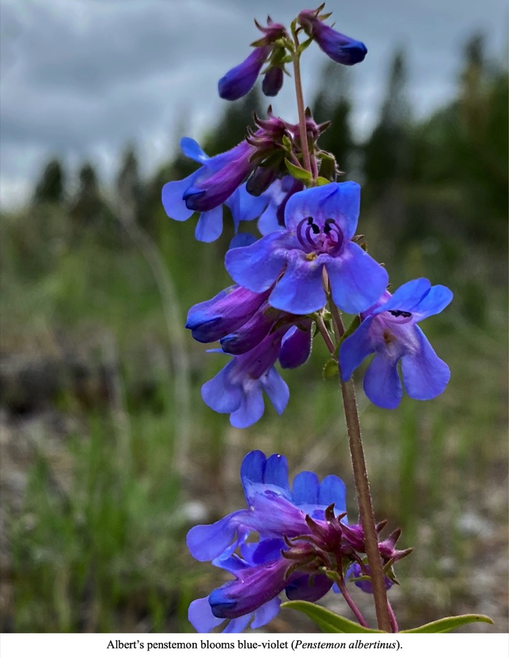Albert's penstemon blooms blue-violet (Penstemon albertinus).