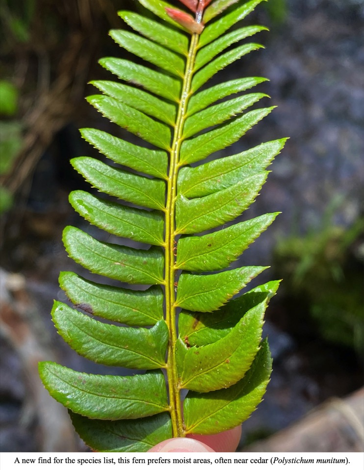 A new find for the species list, this fern prefers moist areas, often near cedar (Polystichum munitum).