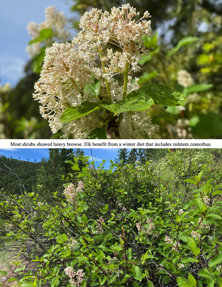 Most shrubs showed heavy browse. Elk benefit from a winter diet that includes redstem ceanothus.