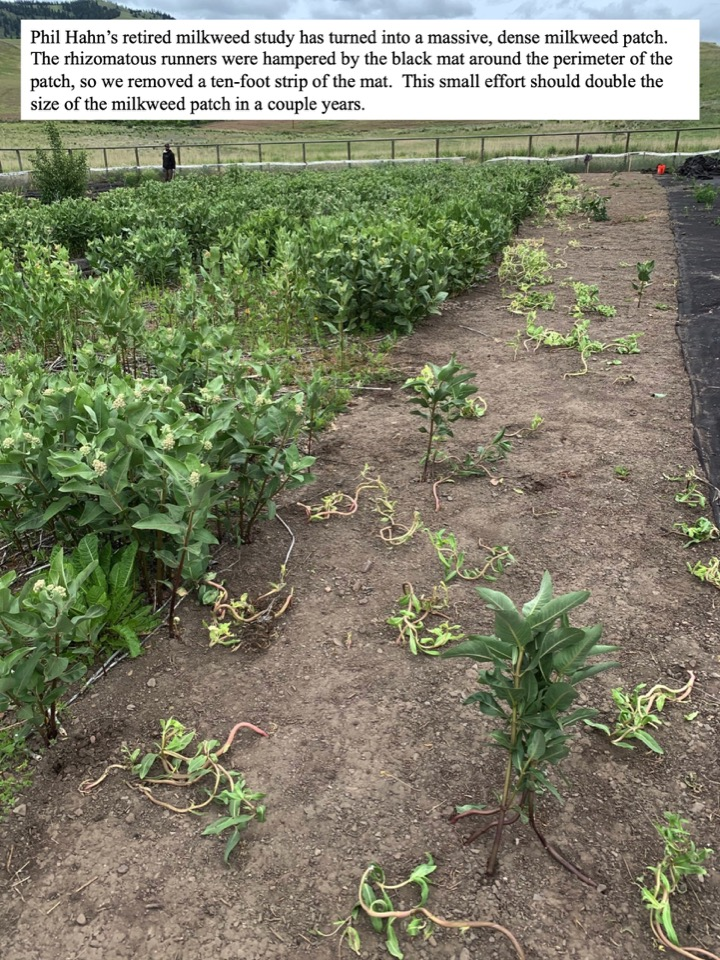 Phil Hahn's retired milkweed study has turned into a massive, dense milkweed patch. The rhizomatous runners were hampered by the black mat around the perimeter of the patch, so we removed a ten-foot strip of the mat.