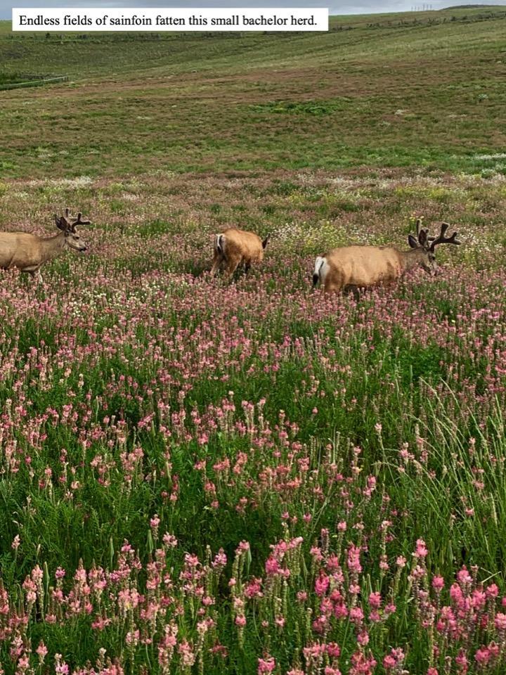 Endless fields of sainfoin fatten this small bachelor herd.