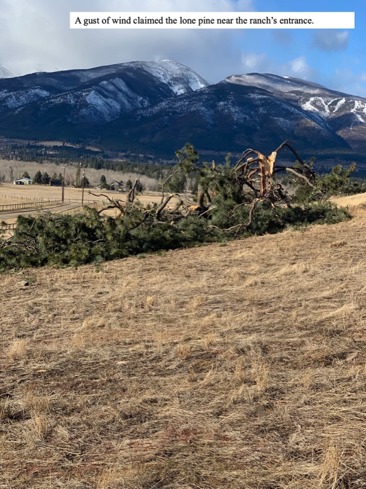 A gust of wind claimed the lone pine near the ranch's entrance.
