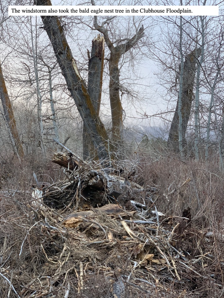 The windstorm also took the bald eagle nest tree in the Clubhouse Floodplain.