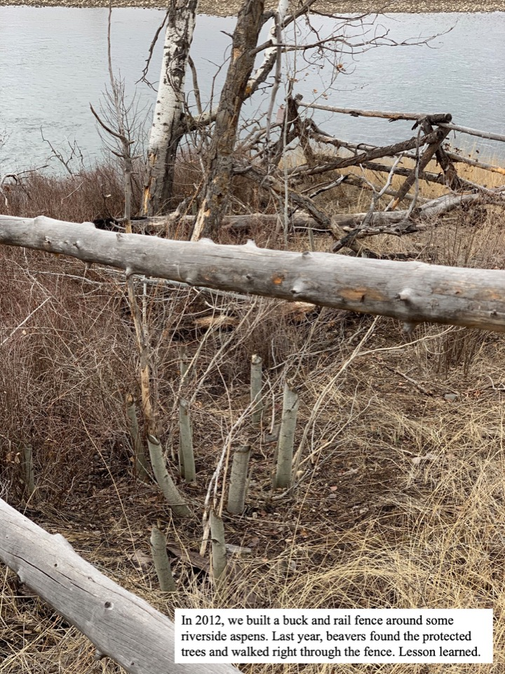 Last year, beavers found the protected trees and walked right through the fence. Lesson learned.