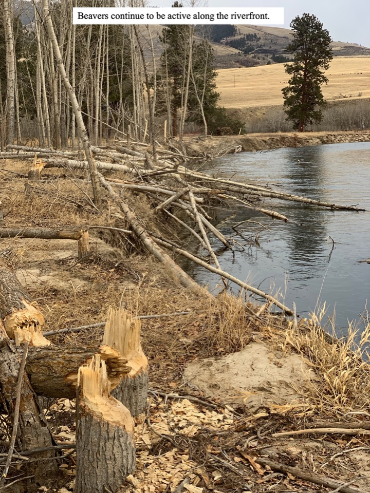 Beavers continue to be active along the riverfront.