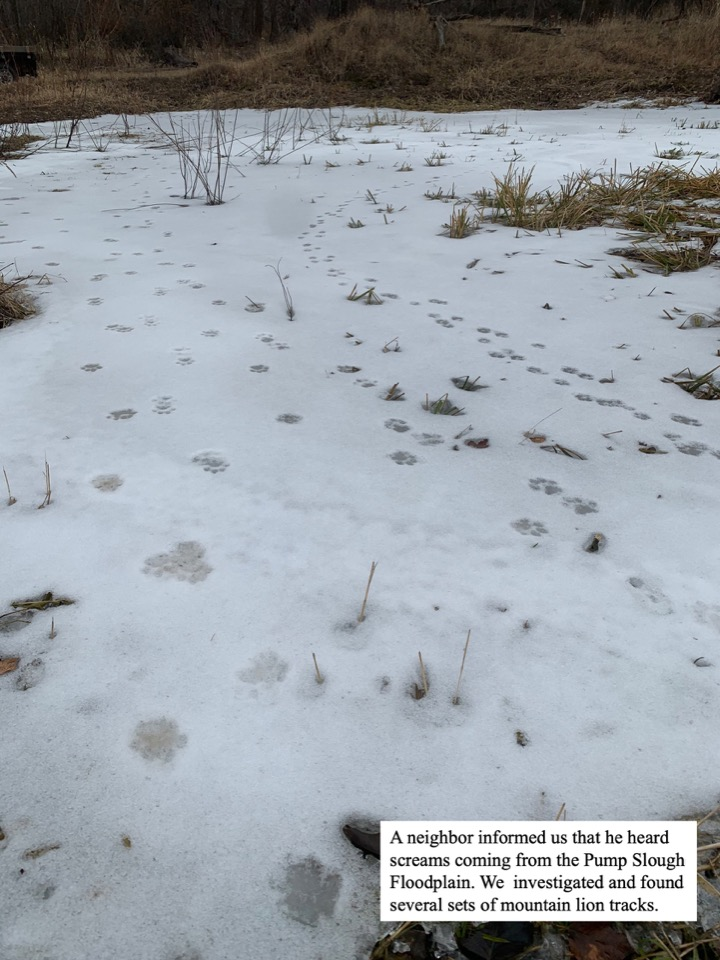 We investigated and found several sets of mountain lion tracks.