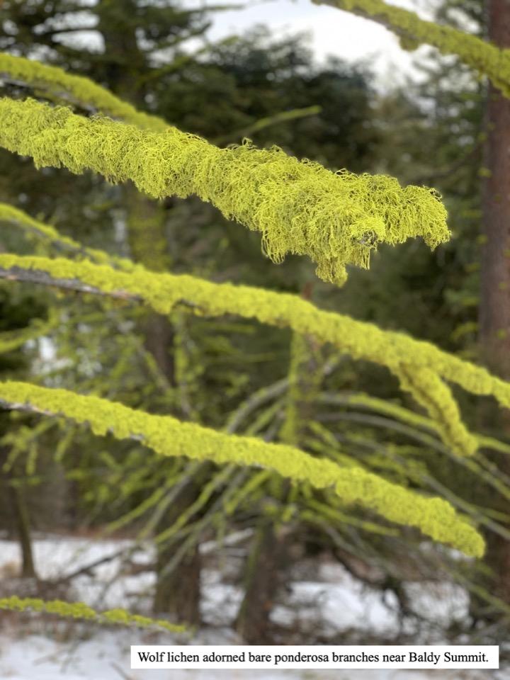 Wolf lichen adorned bare ponderosa branches near Baldy Summit.