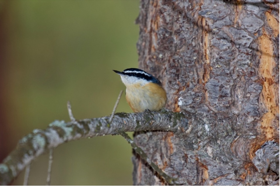 Eric Rasmussen captured this picture of an inquisitive Red-breasted Nuthatch overwintering in the Bitterroot Valley.