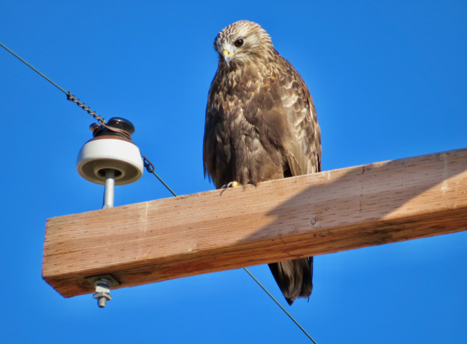 A rough-legged hawk uses a utility pole to rest, scan for prey, and keep an eye on other raptors or predators.