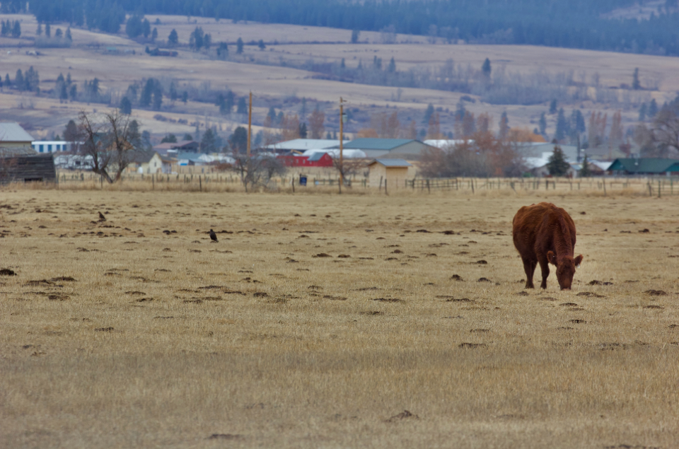 A cow grazes alongside two red-tailed hawks.