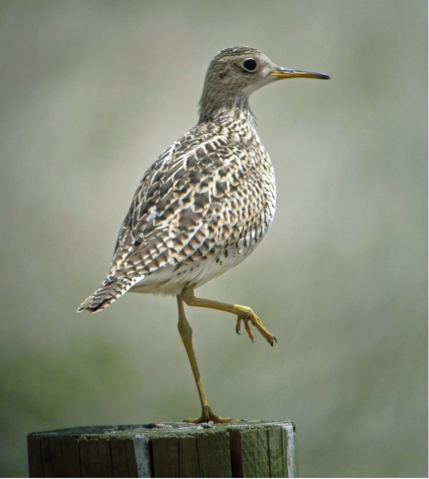 Nate Kohler, one of our Montana bird buddies, photographed this Upland Sandpiper on its favorite perch.