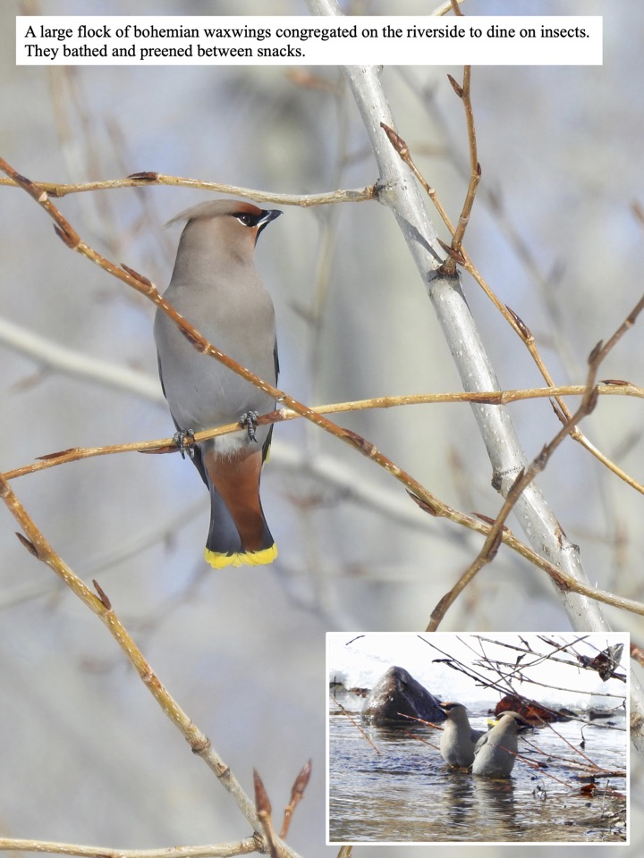 A large flock of bohemian waxwings congregated on the riverside to dine on insects.